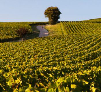 Vignes Côte Chalonnaise